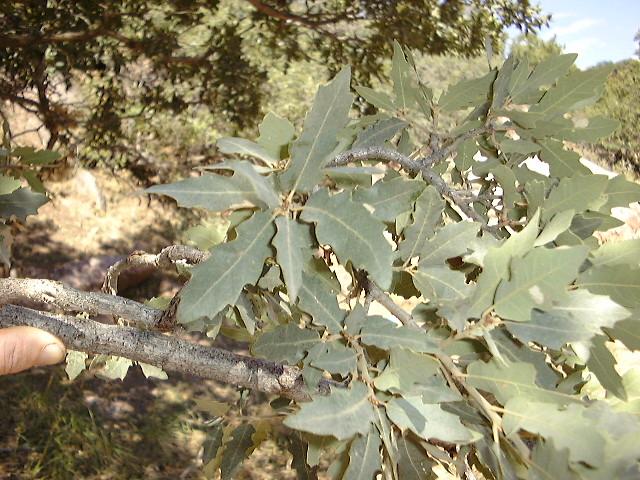 Quercus shumardii asexual propagation